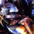 Geniessenschaft Meeresfarm Muschelkultur