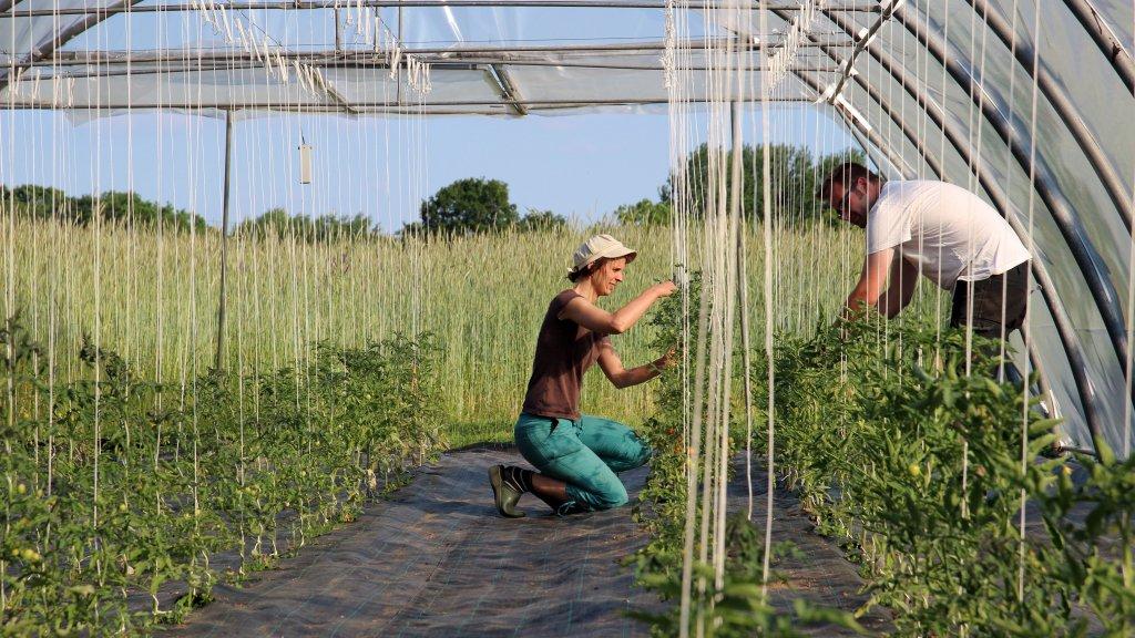 Geniessenschaftler binden Tomatenpflanzen hoch
